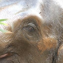 een oog van een olifant