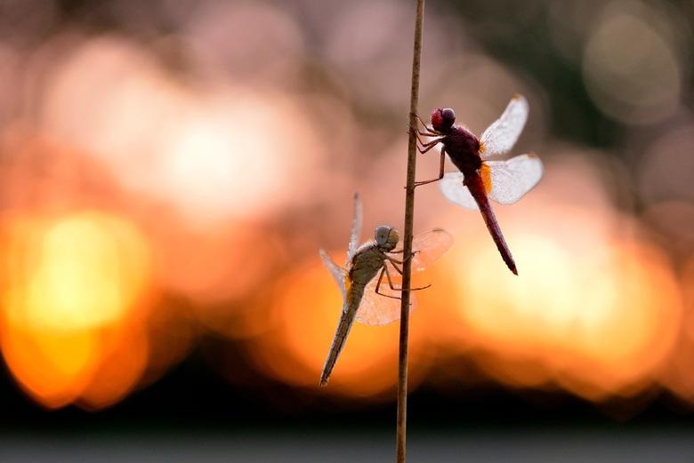 fire love - twee mooie vuurlibellen bij een opkomende zon