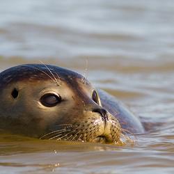Gewone zeehond zwemmend in waddenzee