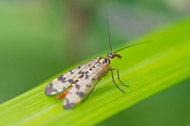 Schorpioenvlieg - In mijn vakantie heb ik weinig foto's gemaakt. Af en toe is het zo heerlijk om gewoon te genieten van de natuur zonder door de