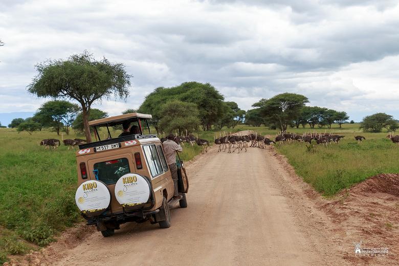 """Tanzania - Ik wist dat je moest stoppen voor een zebrapad .... maar in Tarangire National Park kennen ze ook een struisvogelpad <img  src=""""/images/smi"""