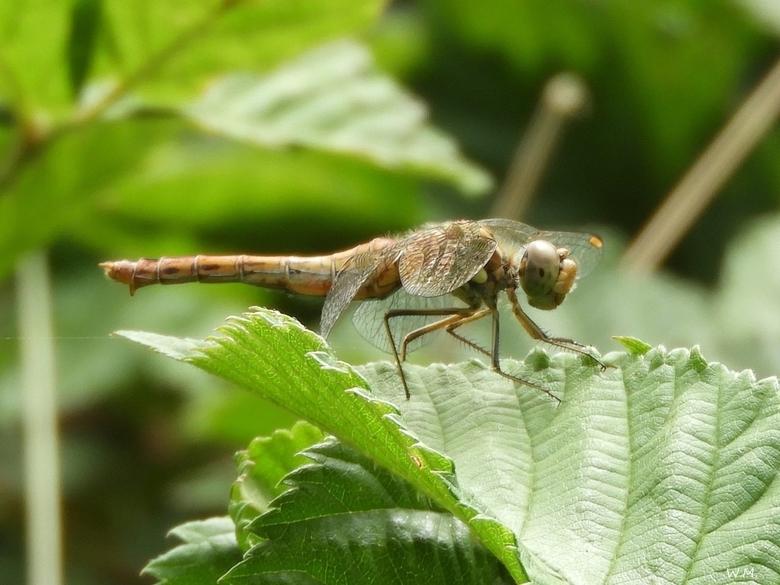 Steenrode Heidelibel -