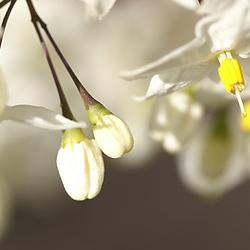 Bloemenknoppen
