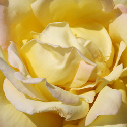 Roos in de zon.