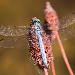 Blauwe Libel