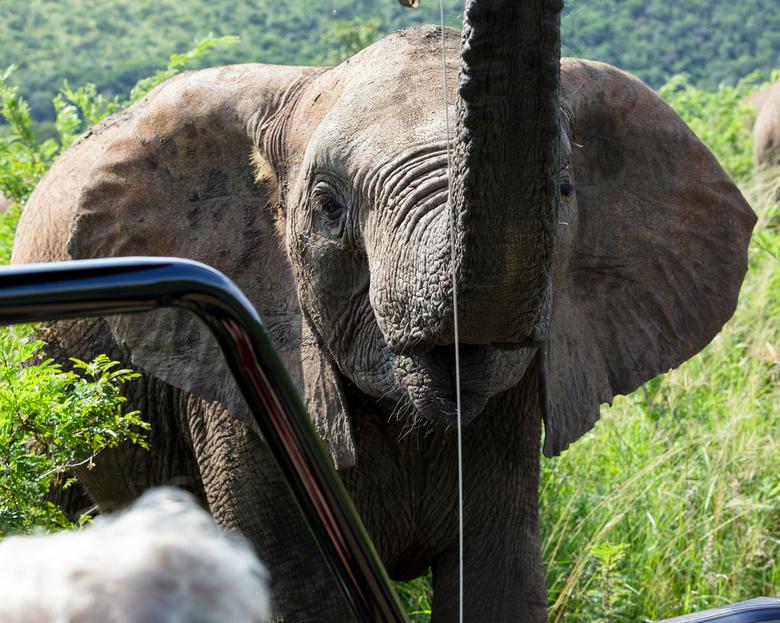Olifant die zijn kudde beschermt in het Hluhluwe Umfolozi Park in Zuid-Afrika