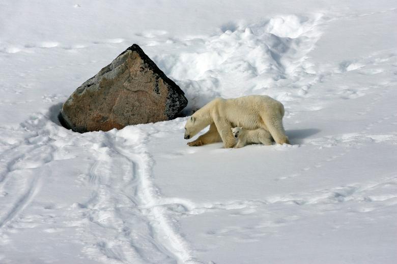 Samen op pad - Moeder ijsbeer met jong hebben besloten weer op pad te gaan. Na het heerlijk smullen van walvisblubber, is het wellicht tijd om een rus