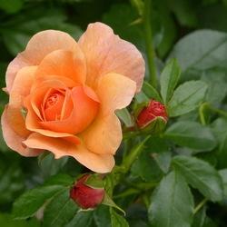 Een roos zegt meer