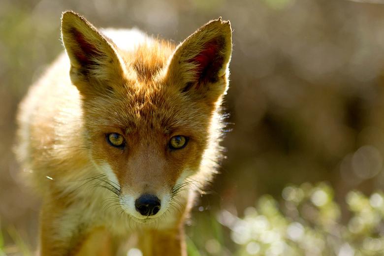 """Fox &amp; sparkles - Ik was eigenlijk op zoek naar vogeltjes toen ik ineens oog in oog stond met deze vos.....ook niet erg <img  src=""""/images/smileys/"""
