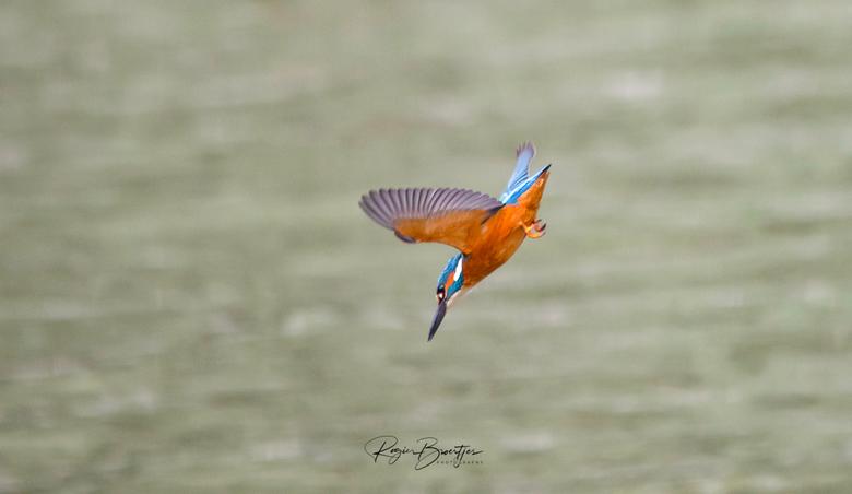IJsvogel in vlucht - IJsvogel in volle.vlucht