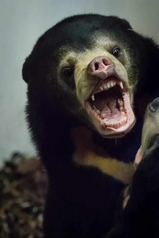 Wat een gebit - Spelen is oefenen. Deze jonge Maleise beer laat mooi zijn gebit zien.<br /> Ook kan je mooi de kenmerkende kraag zien.
