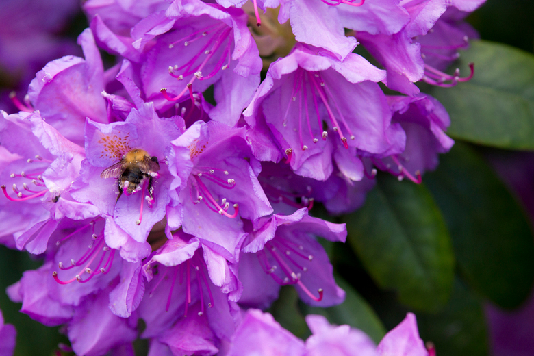 rhododendron - ...