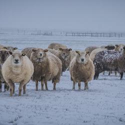 Nieuwschierige schapen in de sneeuw