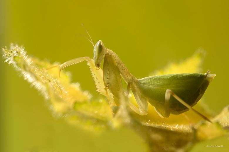 Geel bidsprinkhaantje - Jong volwassen vrouwtje van een prachtig bidsprinkhanensoort Photina spec