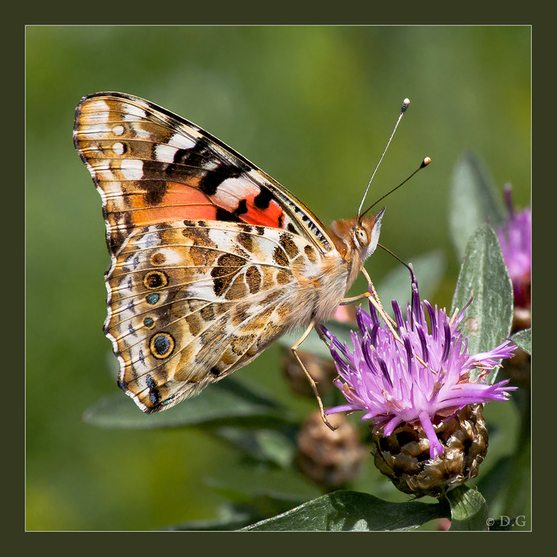 Flying Flower - (in het groot bekijken!)<br /> <br /> Alweer een vlinder?! Ja, alweer een vlinder, de Distelvlinder! <br /> Het enige excuus dat ik