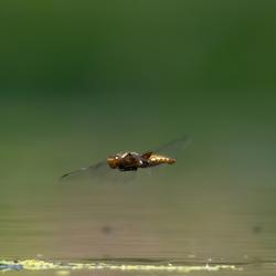 Libelle in de vlucht