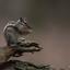Siberisch Eekhoorn