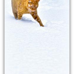Sneeuw tijger......