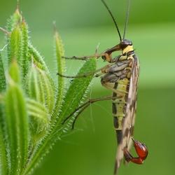 Schorpioen Vlieg(mannetje)