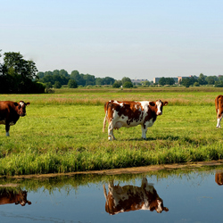 Koeien 3 op een rij (of 6)