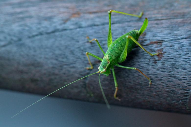 Sprinkhaan - Insect bleef fractie van seconde stil zitten.