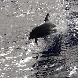 Springende dolfijn