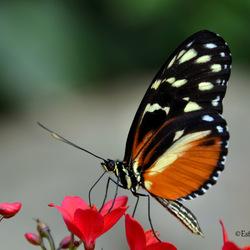 Atalanta Vlinder (denk ik?)