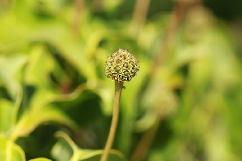 Knoleke bloem