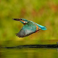 IJsvogel, net uit het water met een klein visje