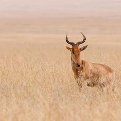 Hartenbeest op de Serengeti