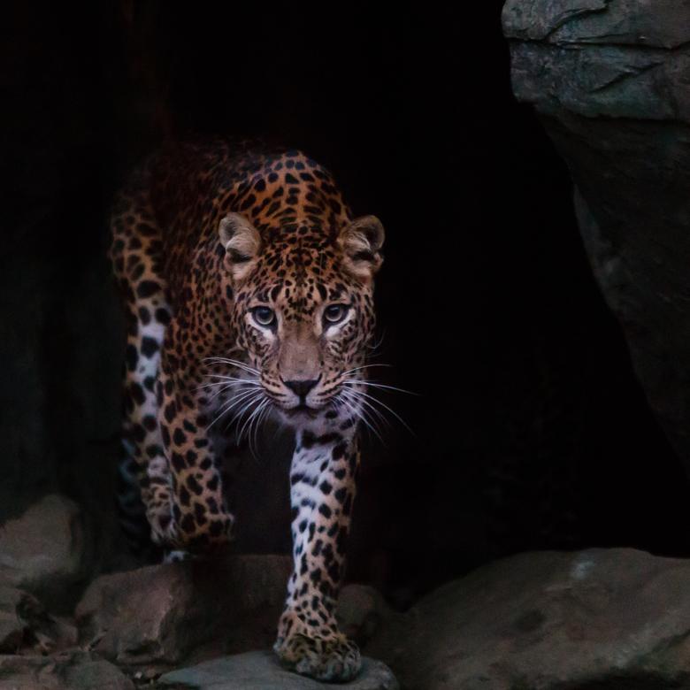 Sri Lanka panter in Burgers' Zoo -