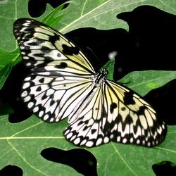 De witte vlinder