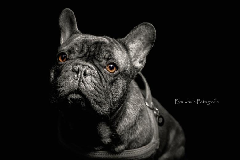 Desmo - Portret van de Franse Bulldog Desmo (oud baasje).