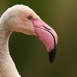 Close up: Flamingo