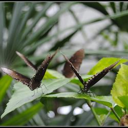 vlinders in formatie