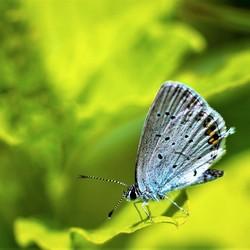 staartblauwtje (2)