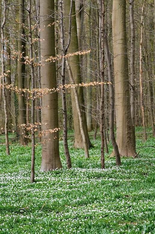 Hallerbos - Het bos staat nu vol met bosanemoontjes. Over een maandje zullen de boshyachinten wel in bloei staan.