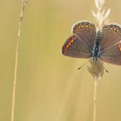 Aricia Agestis (Bruin Blauwtje)