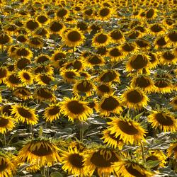Sunny flowers.................