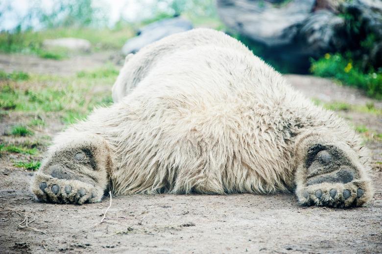 Luie ijsbeer - Deze ijsbeer lag heerlijk te luieren. (eentje uit de oude doos)