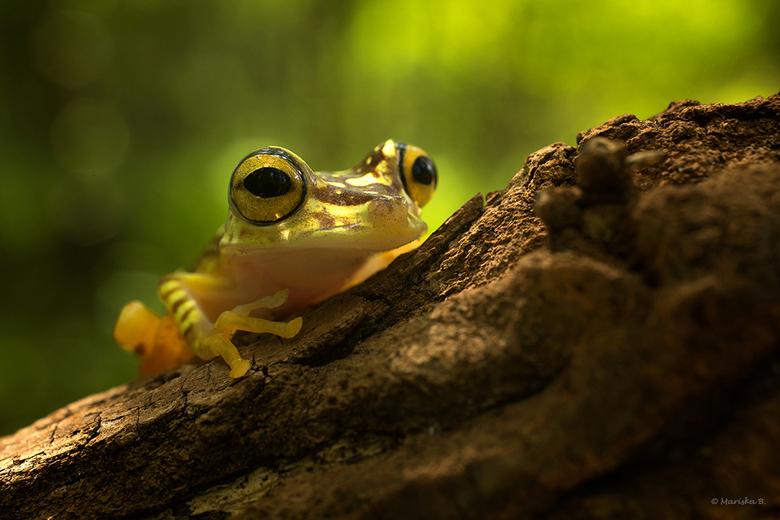 Yellow - Hypsiboas picturatus, Imbabura tree frog<br /> <br /> Zeer kleurrijk kikkertje met prachtige patroontjes op zijn lijfje. Oorspronkelijk uit