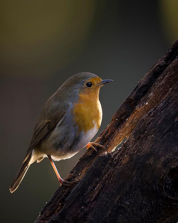 Roodborstje - Het roodborstje (Erithacus rubecula)<br /> Het Roodborstje symbool voor hoop. Van dit veelgeziene vogeltje is het borstje helemaal niet