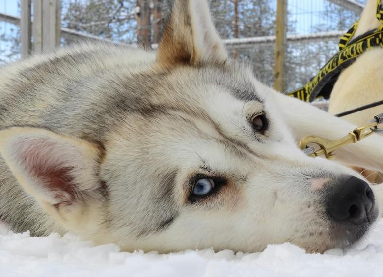 Lief en trouw, Husky blue and black eye - Lief, trouw en na gedane arbeid lekker in de rust.