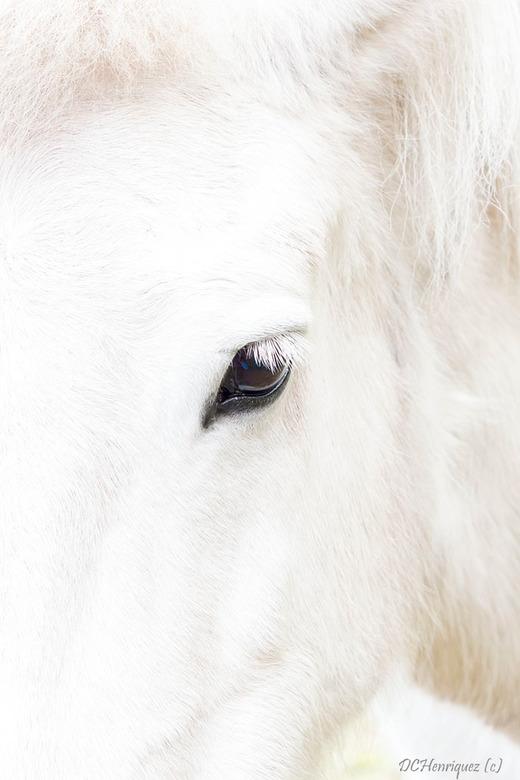 Looking at you - Deze IJslandse paarden waren zo tam en geduldig en poseerden voor ons tijdens de high-key workshop. <br /> Bedankt voor de  fijne re