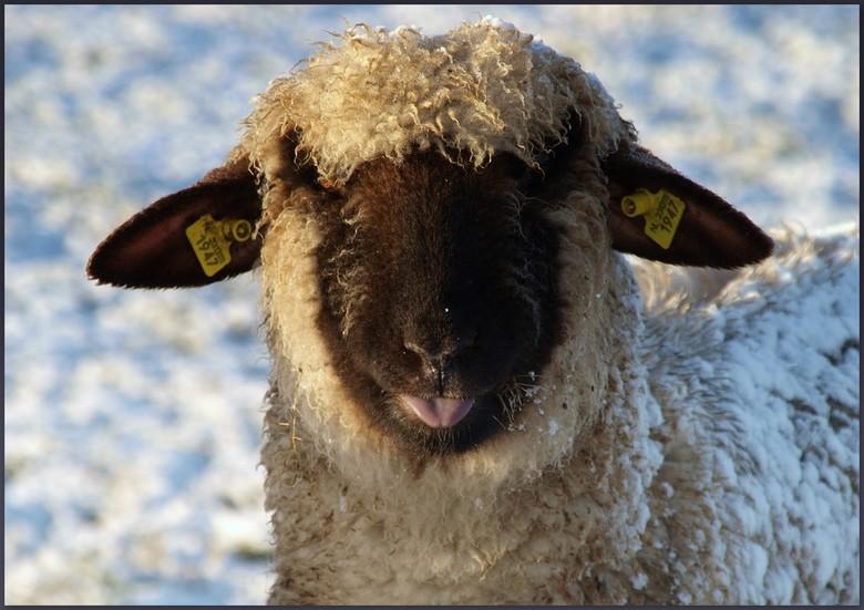 puh - &quot;Met de sneeuw op mijn rug en mijn kop in de zon!!&quot;<br /> Duits zwartkop schaap.