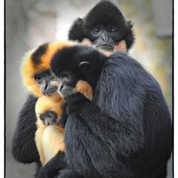 Gibbon familie