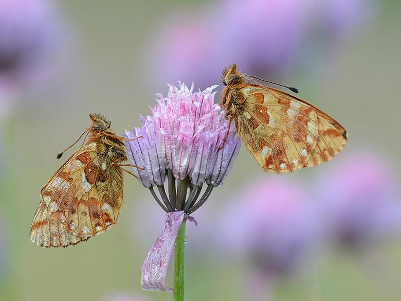 Herdersparelmoervlinder - Rond de boomgrens vliegt de Herdersparelmoervlinder.<br /> Gefotografeerd vanaf statief.