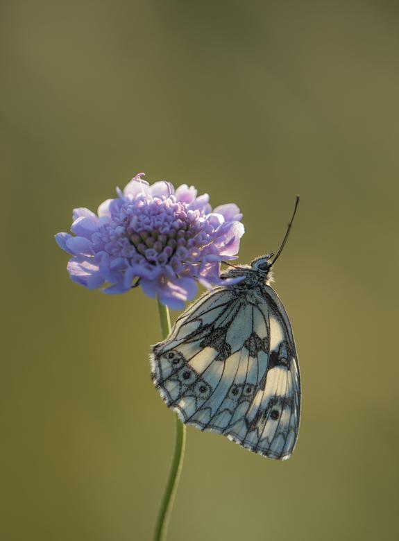 First light - Jammer dat deze soort uit Nederland verdwenen is. Maar hier in de buurt, Eifel en Ardennen gelukkig nog vaak te spotten, soms in grote a