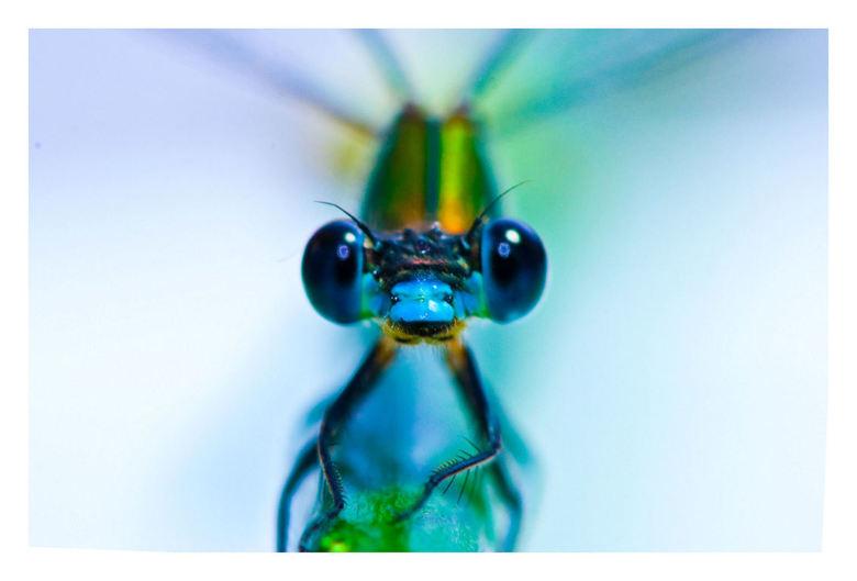 Dragonfly - Bewerkt juffertje