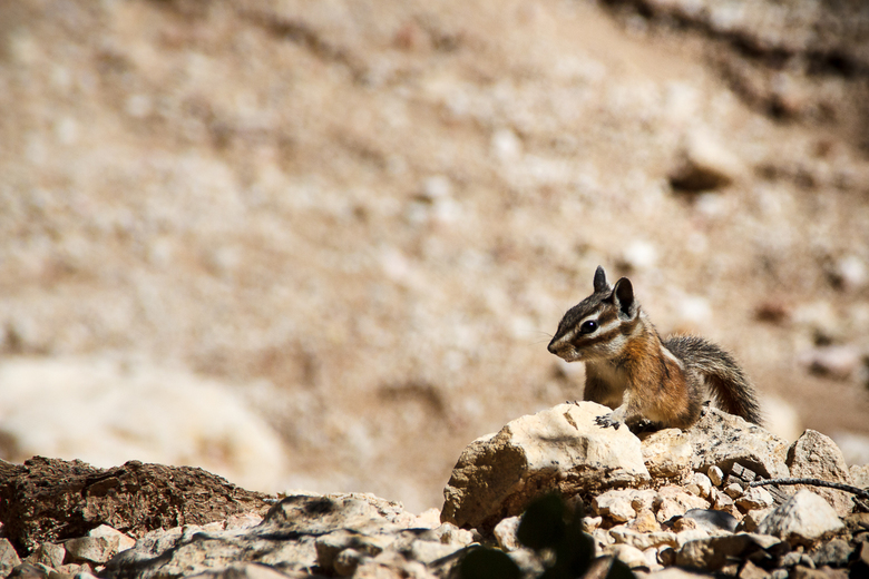 Chipmunk in Bryce Canyon -